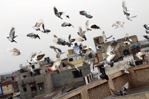 FB_Pigeons_1