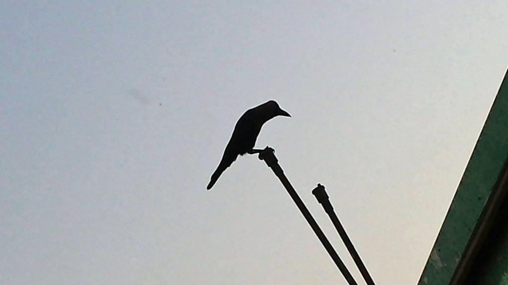 Mumbai kråke