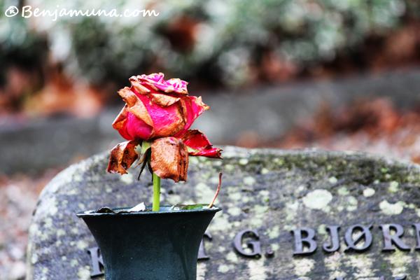 Lagård rose